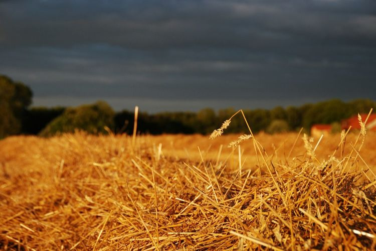 Hay in corn field against sky during sunset