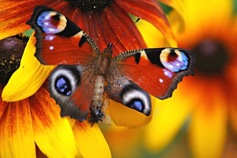 Peacockbutterfly Nature Wildlife Butterfly Caterpillar TRANSFORMATION 💄 & 💅 BEAUTIFYING Metamorphosis Nature On Your Doorstep Animal Insect