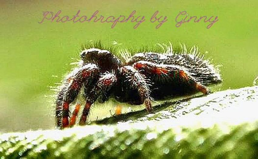 Black spider. Wolf spider. Hairy spider. Close-up No People Macro Photography Insect Nature