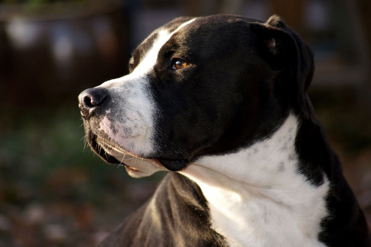 Gorgeous strong bulldog with black white fur American Bulldog Old English Bulldog Labrador Retriever Beatiful Portrait Black And White Fur Close-up Outdoors Race Dog Biting Power Force Muscles Powerful Animal Themes Pets Frend Family❤ Listing Dog Danger