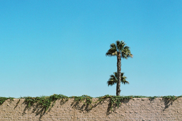 Analogue Photography Cali California Film Ishootfilm Travel Trip View Wall Analog Blue Clear Sky Day Film Photography Filmisnotdead No People Ontheroad Outdoors Palm Tree Sky Tree California Dreamin