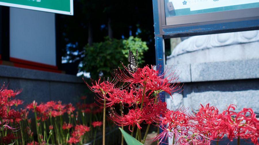 焔の如く Flowerporn Spiderlily Japanese Style M.zuiko Streamzoofamily