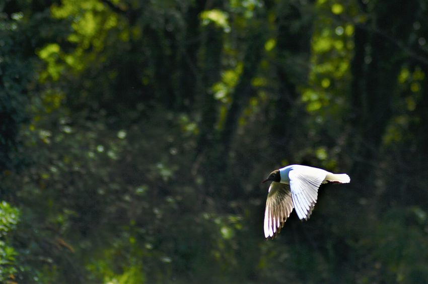 Animal Themes Animal Wildlife Bird Flying Mcgaffinphotography Mid-air No People Spread Wings