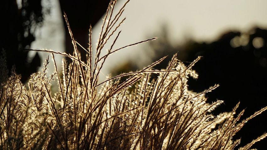 Gräser Und Blüten 🍃 Nature Plant Night Rural Scene Outdoors Grass No People Landscape Close-up Power Of Nature Nature_perfection Sunlight Effect Beliebte Fotos From My Point Of View Garden Photography Flowers, Nature And Beauty Landscape_Collection Herbst In Seinen Schönsten Farben Autumn🍁🍁🍁 Golden Light EyeEm Nature Lover Beauty In Nature Sky