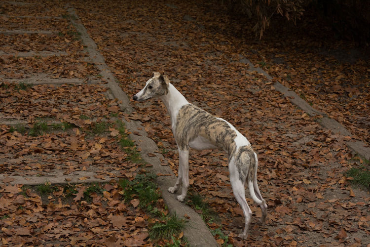 Animal Themes Mammal Animal Vertebrate One Animal Domestic Pets Domestic Animals Land No People Nature Field Day Standing Canine High Angle View Dog Animal Wildlife White Color Outdoors Greyhound This Is Natural Beauty