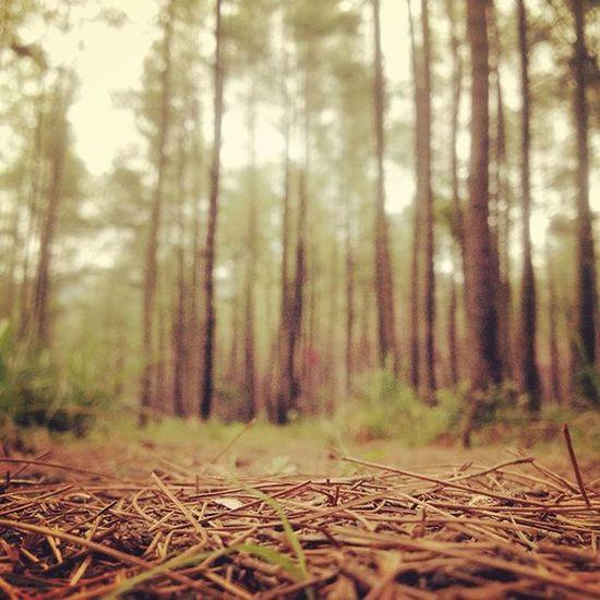 MtSoputan Pinus 2 Mountain Tracking Kawahtua Mtsoputan Minahasa Holiday Adventure BeautifulIndonesia Eksotis Pencintaalam Naturelovers