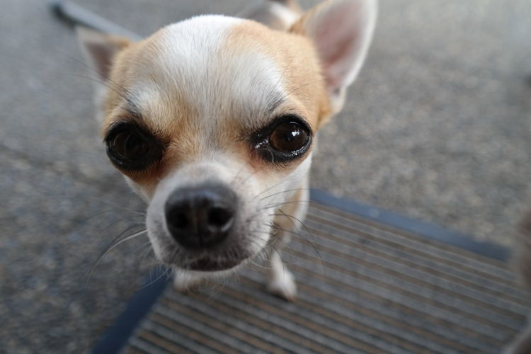 Animal Love Chihuahua Close-up Cute Dog Fine Art Photography Focus On Foreground Pets Selective Focus Sweetheart