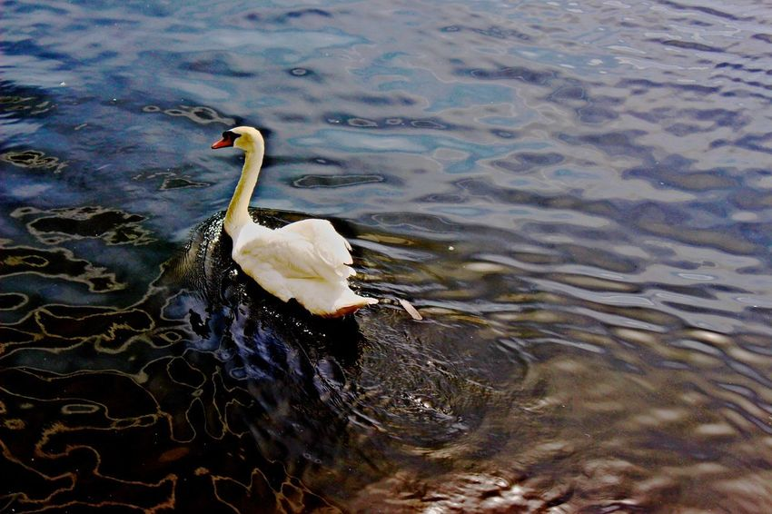 Swan gliding through the water! Beauty In Nature Close-up Day Lake Mallard Duck Nature No People Outdoors Rippled Tranquility Water Water Bird Water Surface