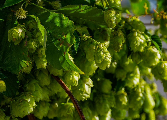 Beer Humulus Lupulus Agriculture Beauty In Nature Brewing Close-up Day Focus On Foreground Food Food And Drink Freshness Fruit Green Color Growth Healthy Eating Hop Leaf Lupulus Nature No People Outdoors Plant Plant Part Sunlight Wellbeing