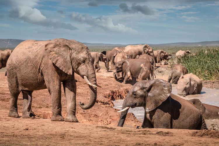 Elephant in a row