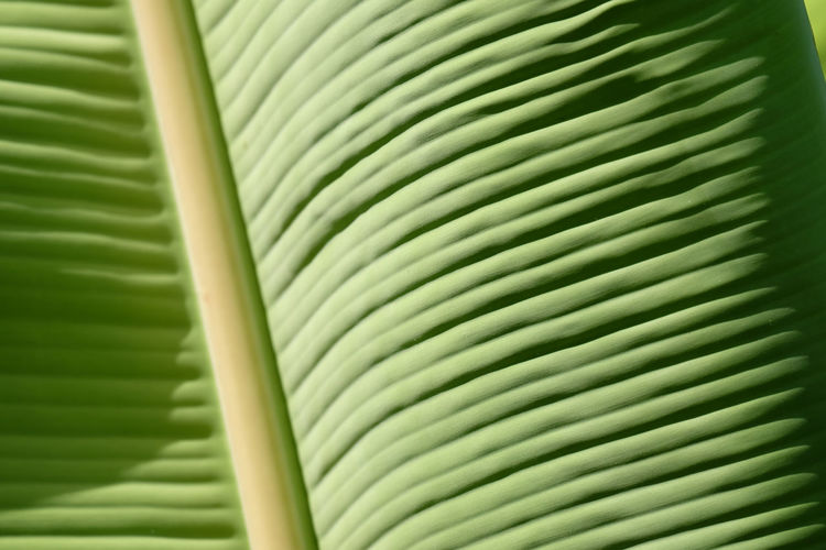 Banana Banana Leaf Banana Leaf Texture Banana Leaf Color Texture As Background Leaf Tropical Climate Green Color Plant Part No People Pattern Frond Close-up Backgrounds Plant Nature Tree Beauty In Nature Full Frame Day Lush Foliage Foliage Natural Pattern Outdoors Tropical Tree Rainforest Abstract Backgrounds Leaves