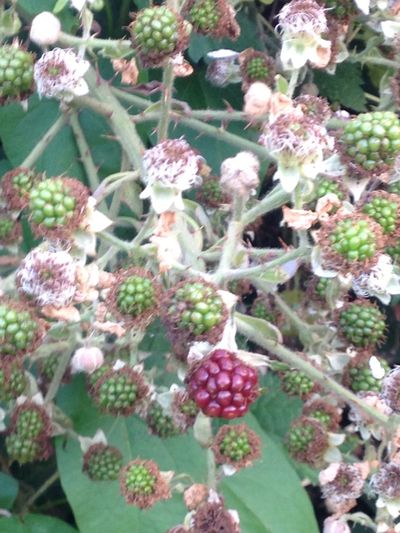 Blackberries Ripening Nature Beauty In Nature Showcase July Outdoors Green Color Autumn On Its Way!
