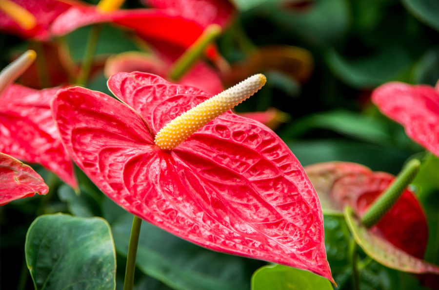 Beauty In Nature Blooming Boy Flower Close-up Day Flower Flower Head Fragility Freshness Growth Leaf Nature No People Outdoors Petal Plant Red