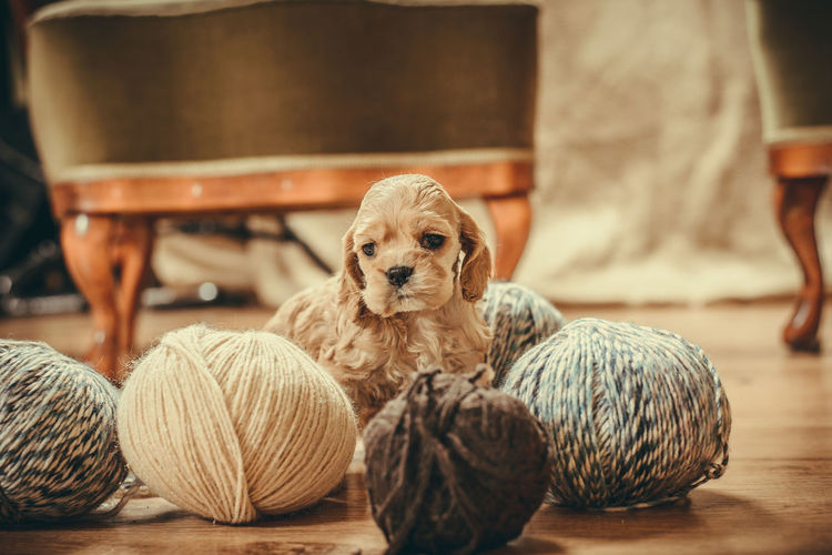 Puppy playing with yarns Cocker Spaniel  Puppy Love Animal Themes Ball Ball Of Wool Close-up Day Dog Domestic Animals Indoors  Knitting Needle Mammal No People Pets Playing Puppy Wool Yarns Yellow