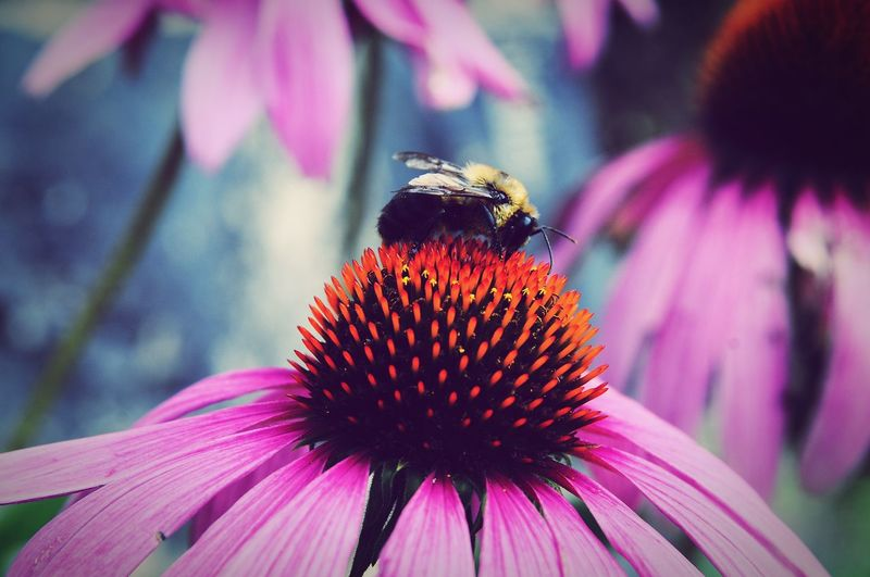 Close-Up Of Honey Bee On Purple Coneflower