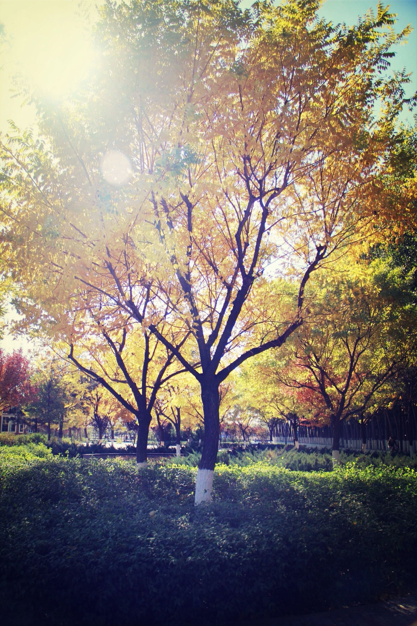 tree, tranquility, growth, beauty in nature, autumn, tranquil scene, branch, nature, scenics, park - man made space, grass, sunlight, change, park, green color, tree trunk, season, field, landscape, idyllic