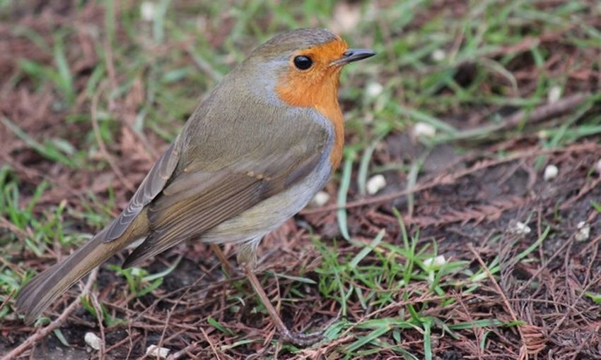 One Animal Robin Bird Animals In The Wild Focus On Foreground Animal Themes No People