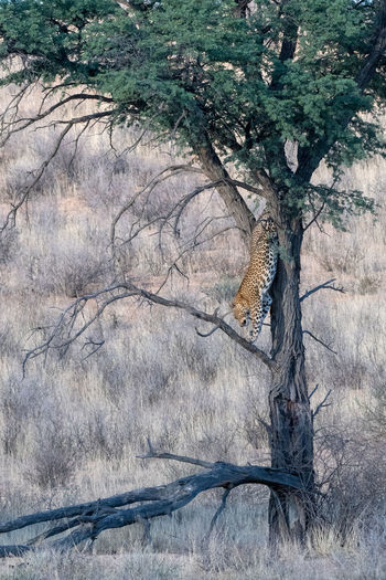 leopard jumping down a camel thorn tree Kgalagadi Tree Plant Branch Nature No People Day Bare Tree Land Beauty In Nature Outdoors Forest Non-urban Scene Dead Plant EyeEm Nature Lover Wildlife Photography Kgalagadi Transfrontier Park Camel Thorn Tree