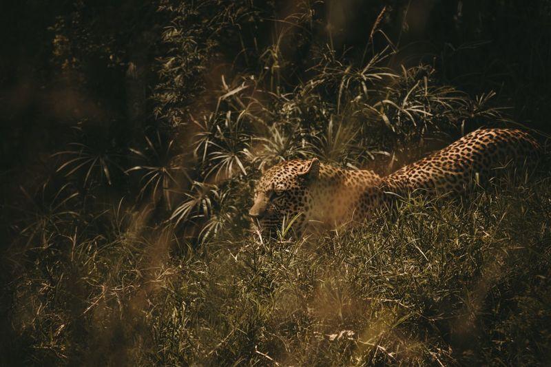 Predator. Big Cat Cat Predator And Prey Prey Safari Valley Hunter Hunting Leopard Animals In The Wild Animal Themes Leopard Safari Animals One Animal Animal Wildlife Nature Mammal Grass Outdoors No People Day The Great Outdoors - 2018 EyeEm Awards