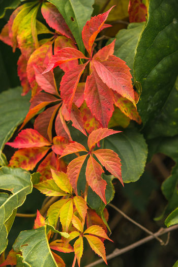 Parthenocissus Autumn Beauty In Nature Close-up Day Focus On Foreground Fragility Freshness Green Color Growth High Angle View Leaf Leaves Nature No People Outdoors Petal Plant Plant Part Red Vulnerability