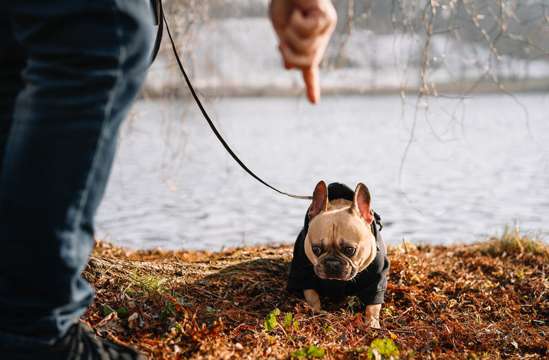 Owner training french bulldog dog by the lake