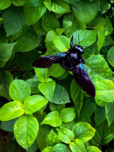 A large, solitary violet carpenter bee (Xylocopa violocea) hovers over a patch of lush green leaves .. Carpenter Bee Violet Carpenter Bee Xylocopa Violacea Solitary Bee Giant Bee Black Bee Violet-blue Wings Hovering Insect Paparazzi Insect Close-up One Animal Animal Themes Animals In The Wild Leaf Lush Green Green Color Outdoors No People Day Nature August 2017 — in Singapore ASIA