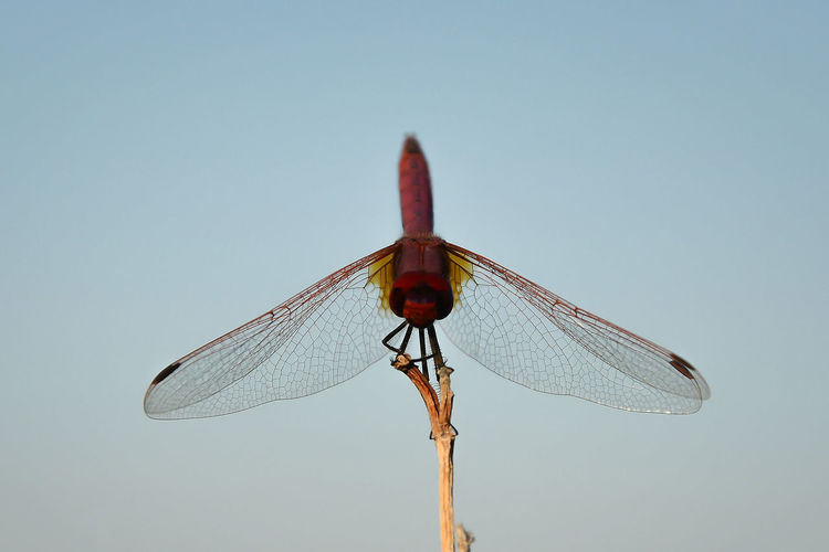 Low angle view of dragonfly against clear sky
