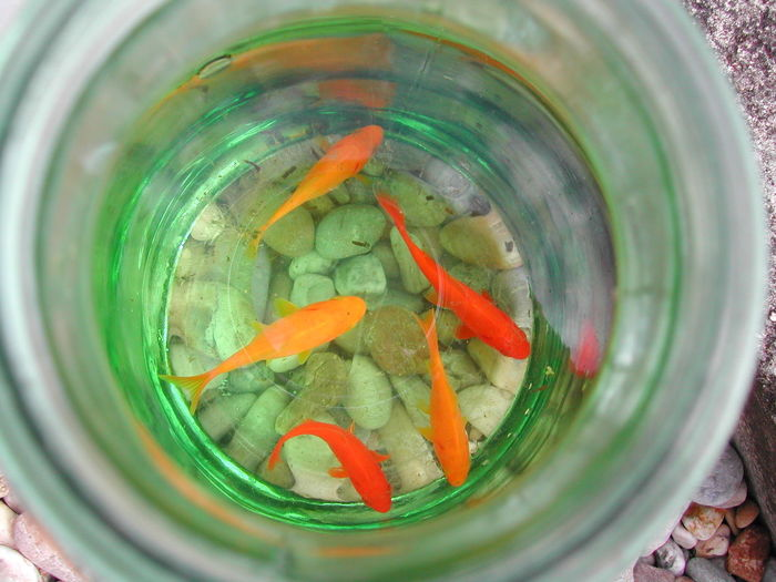 Directly above shot of goldfish in glass container