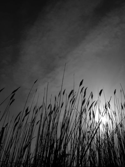 Backgrounds Beauty In Nature Black And White Nature Black And White Nature Photography Cloud - Sky Day Delawarebay Fortescue Fortescue Bay Growth Low Angle View Nature New Jersey New Jersey Photography No People Outdoors Plant Silhouette Sky South Jersey Sunset Tall Grass Timothy Grass Tranquility