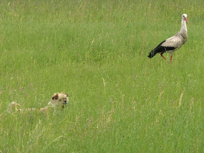 Animal Animal Theme Animal Themes Animal Wildlife Animals Bird Birds Dog Dog And Bird Dog And Birds Field Grass Nature Poland Polen Stork White Stork