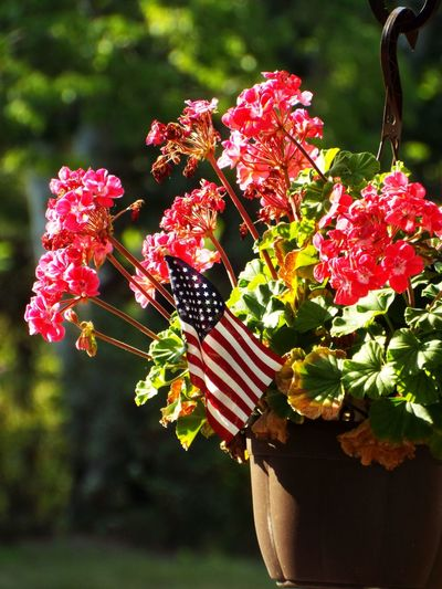 America American American Flag Flowers Flowers,Plants & Garden Fourth Of July Fourth Of July 🎉 Fourthofjuly Geraniums Green Color Hanging Basket Hanging Baskets Of Flowers Memorial Day Memorialday National Flag Red Flowers Red Geranium Red Geraniums Stars And Stripes Flag Veterans Veteransday