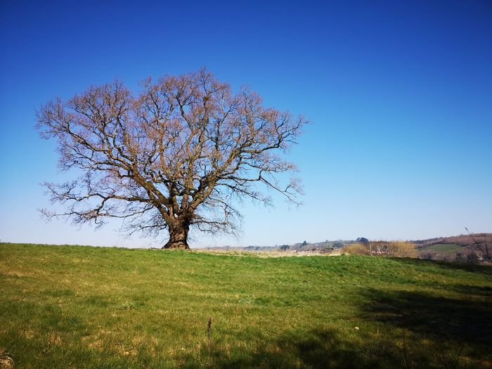 Bare tree on field against clear blue sky