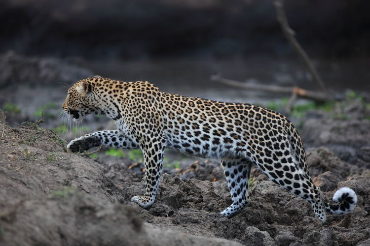 Side view of leopard walking on rocks at south luangwa national park