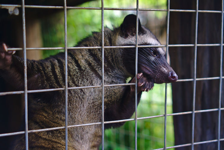 Mongoose Carnivore No People Alone Conceptual Photography  Prison Confined Space Pets Trapped Prisoner Cage Cute Ape Close-up Animal Themes Security Bar Chainlink Fence Wire Mesh Chainlink Fence Grid Zoo Paw Primate