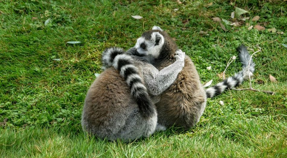 Lemurs Embracing On Grassy Field At Cotswold Wildlife Park