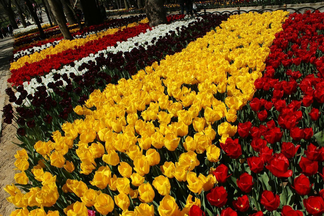 HIGH ANGLE VIEW OF MULTI COLORED TULIPS IN YELLOW TULIP
