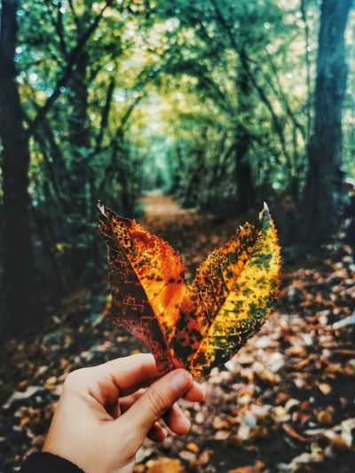 Person holding maple leaves during autumn
