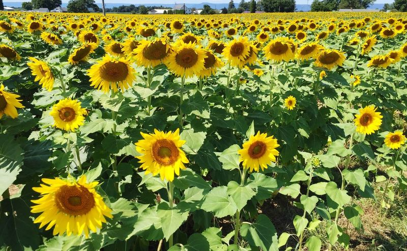 Field of radiant sunflowers. Flower Yellow Beauty In Nature Growth Flower Head Vibrant Color Sunflower In Bloom Field Of Yellow Flower Field Of Flowers Beautiful Flowers Radiantbeauty Summertime Beauty Summer