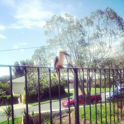 My buddy the Kookaburra Adelaide Adelaidehills Aussiewildlife