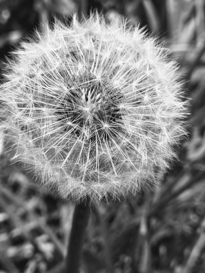 Blackandwhite Photography Artwork In Nature Art is Everywhere Flower Head Flower Uncultivated Wildflower Softness Dandelion Close-up Plant In Bloom Plant Life Botany Delicate