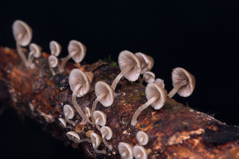 Close-Up Of Mushrooms On Tree Trunk Against Black Background