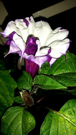 Flower Leaf Petal Fragility Nature Beauty In Nature Flower Head Freshness Close-up No People Purple Plant Growth Day Black Background Iris - Plant Outdoors Datura Stechapfel Trompetenblume Beauty In Nature Nature