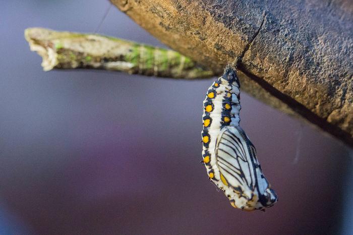 苧麻珍蝶,又名細蝶、苧麻蝶、苧麻斑蛺蝶、細蛺蝶、茶蝶、擬斑蝶,為蛺蝶科束珍蝶屬下的一個種。 蛹 蝴蝶 生態 昆蟲 微距鏡頭