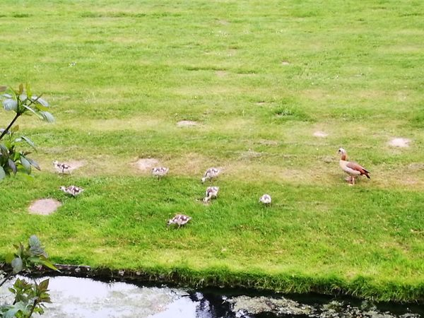 """""""One goose to geese"""" Grass Green Color Nature Field Growth Bird Day Outdoors Animal Themes No People Water Animals In The Wild Beauty In Nature"""