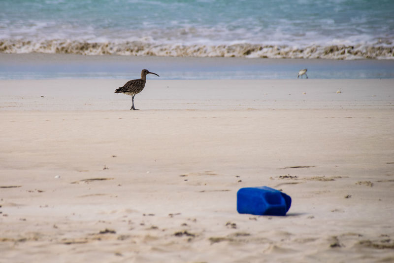 Eurasian Curlew looks towards the Atlantic Ocean with a plastic bottle brought in on the tide in the foreground, Santa Maria Beach, Boa Vista, Cape Verde Boa Vista Cape Verde Plastic Bottle Africa Animal Themes Animal Wildlife Animals In The Wild Beach Beauty In Nature Bird Cabo Verde Cabo Verde Africa Curlew Eurasian Curlew Nature No People One Animal Plastic Plastic Pollution Sand Santa Maria Beach Sea Shore Water Wave
