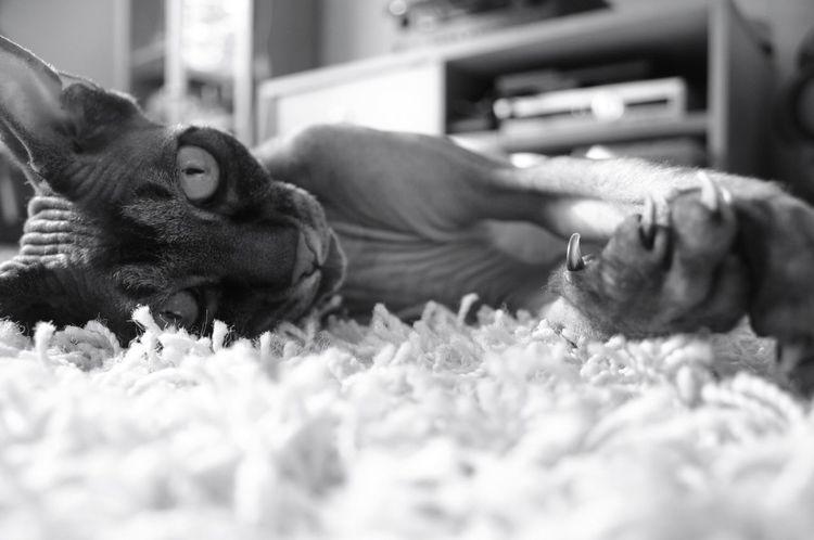 My little baby🐱 Babycat Catlover Sfinx