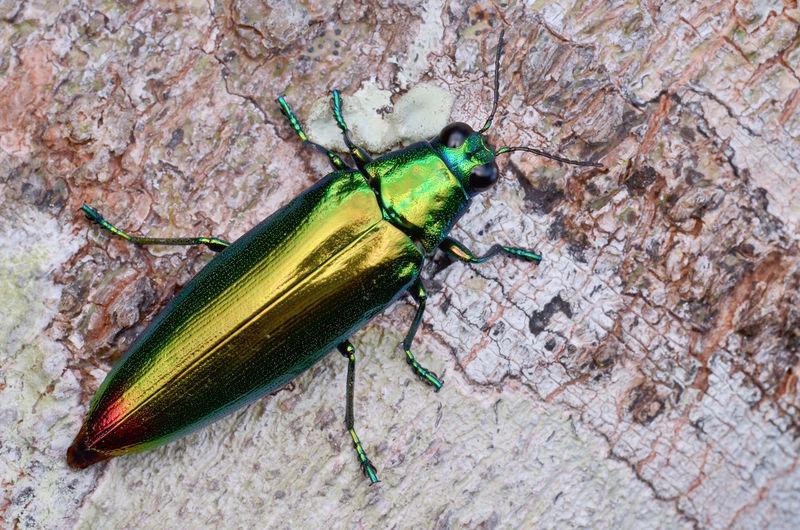 Beautiful Metallic Green Jewel Beetle Beetle Borneo Close-up Green Insect Jewel Beetle Macro Metallic Reflective Shiny Wildlife Woodboring B