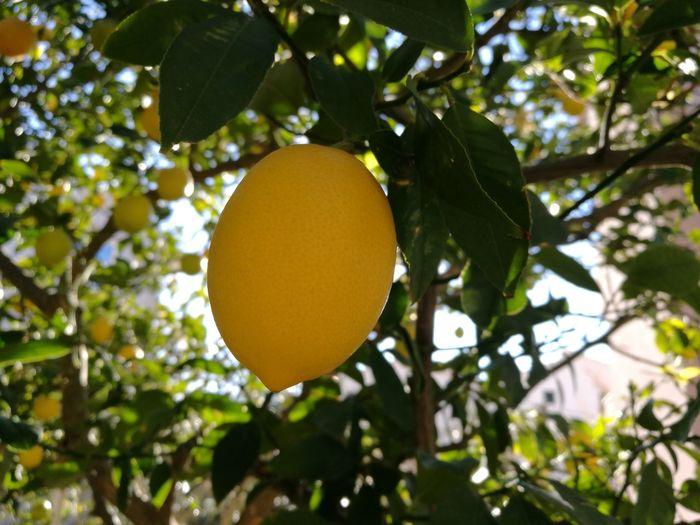 Low angle view of lemon on tree