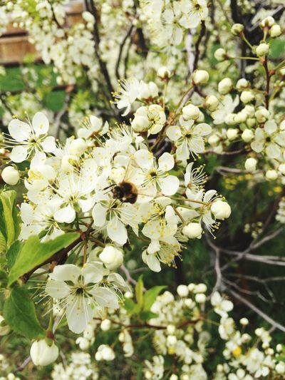 Apple Blossom Spring Flowers Bees White Flowers