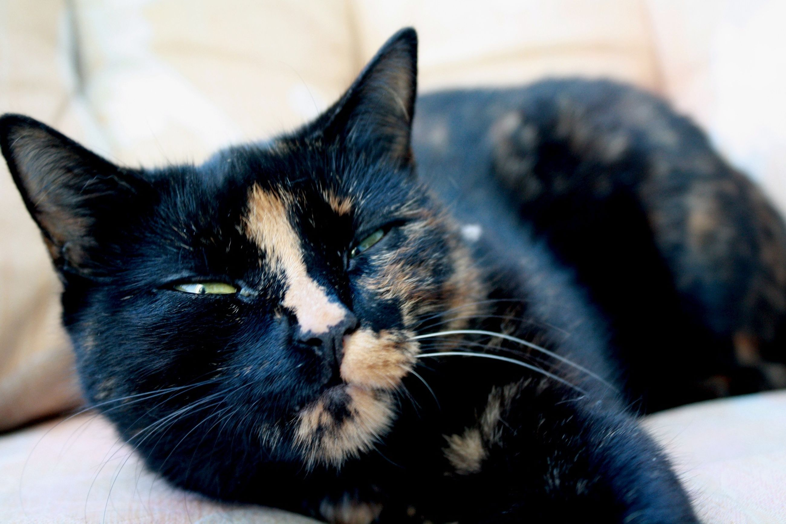 pets, domestic cat, domestic animals, cat, indoors, one animal, animal themes, mammal, feline, whisker, close-up, relaxation, home interior, portrait, looking at camera, focus on foreground, bed, home, lying down, resting